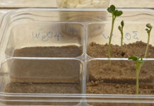 NASA Experiment : Radishes Could Probably Grow in Lunar Soil